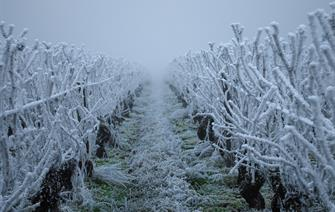 Climate change increased the likelihood of damaging frosts from the French April 2021 cold wave by about 60%